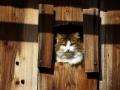 Katze schaut aus Holztor
