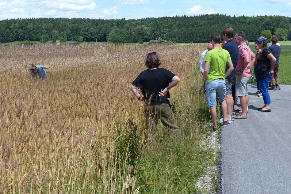 Nach den Vorträgen wurde ein Feld des Laufener Landweizens besichtigt und die letzten blühenden Ackerwildkräuter unter die Lupe genommen. (Foto: Biosphärenregion Berchtesgadener Land)