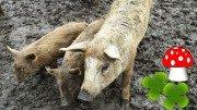 Mangalitza Schweine