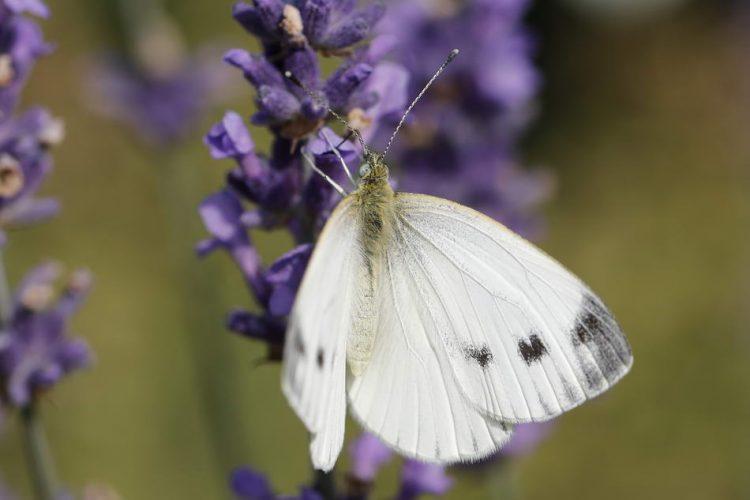 Pieris brassicae,Großer Kohlweißling,Schmetterling